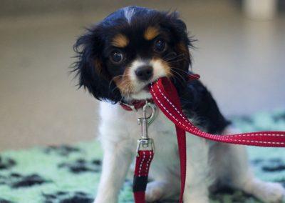 Great Start Puppy Online